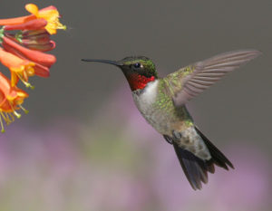 Ruby-throated Hummingbird, Brandon, South. Photo taken by Terry Sohl